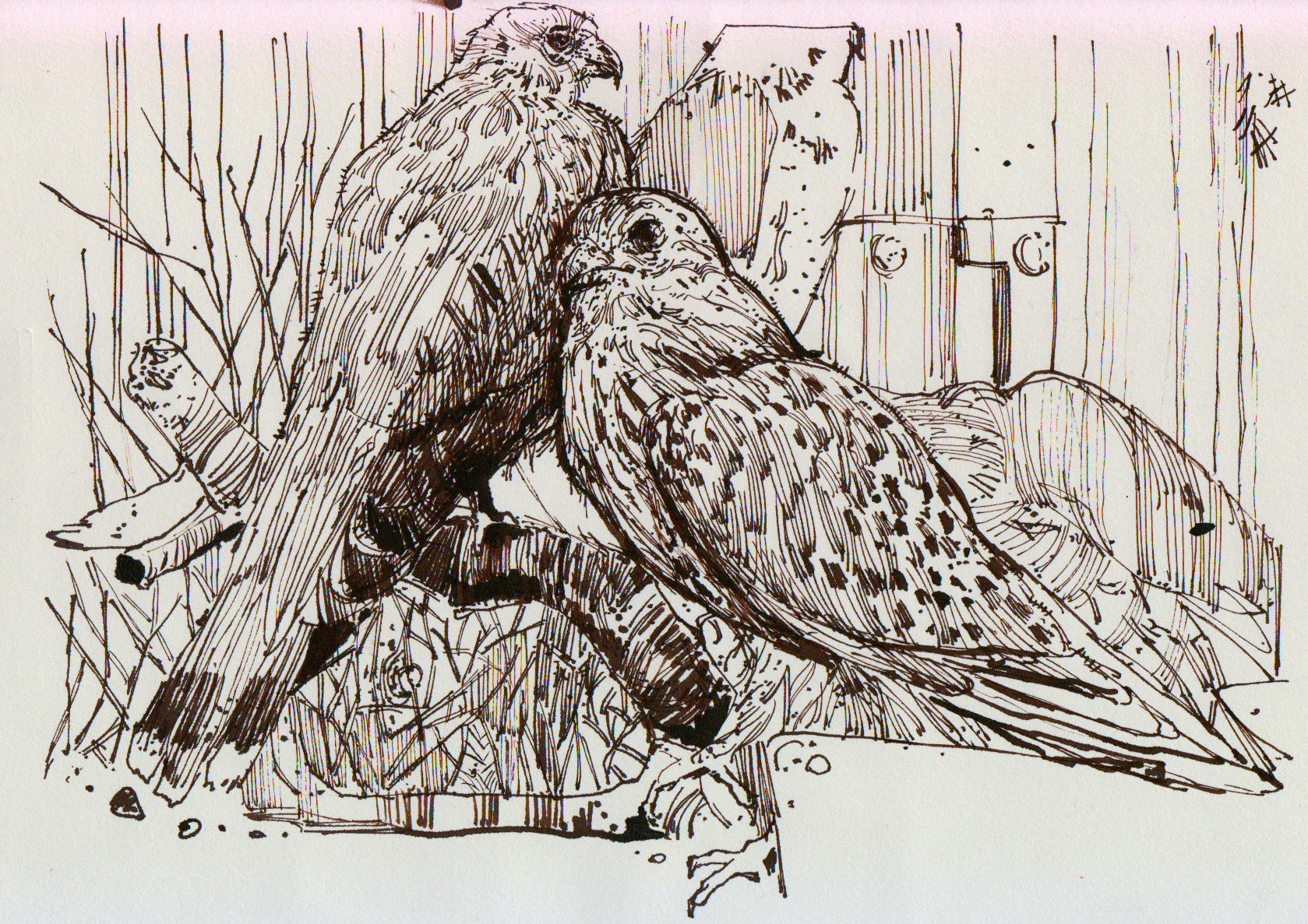 طراحی از پرندگان تاکسیدرمی  موزه داراباد